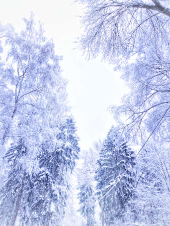 The tops of snow-covered trees. Winter fairy tale. High quality photo