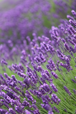 the field and in depth: Close-up of lavender in a field with shallow depth of field