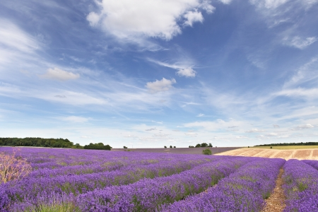 worcestershire: Lavender field in the Cotswolds with blue sky and whispy clouds