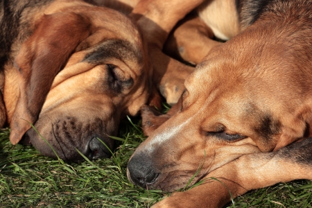 bloodhound: Sleeping hunting dogs