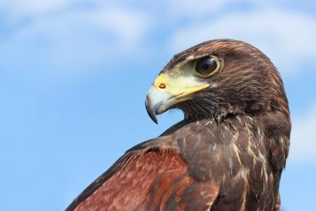Bird of Prey - Harris hawk Standard-Bild