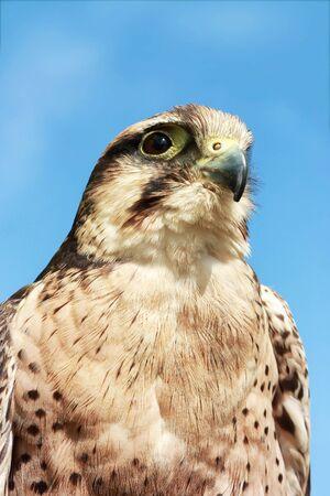 falconidae: Bird of Prey Stock Photo