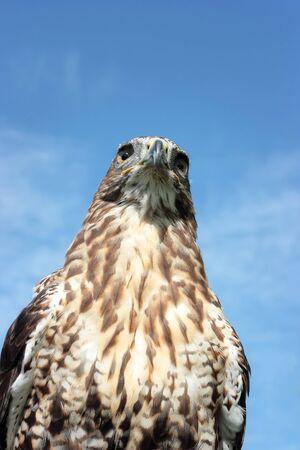 Bird of prey Standard-Bild