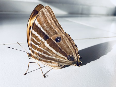 Tropical butterfly sits on the white floor in Asia