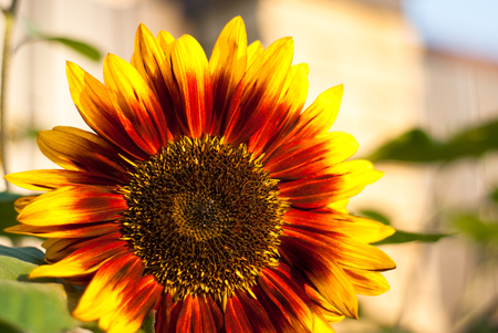 sunflower oil: Bright Beautiful sunflowers growing in the garden