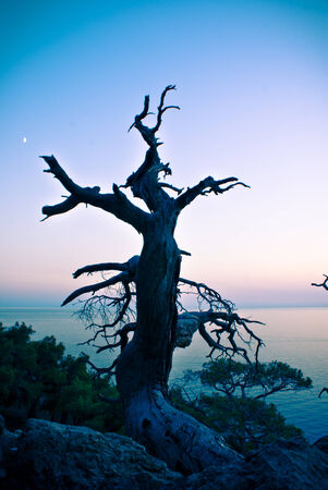Dried pine over a cliff above the sea shore photo