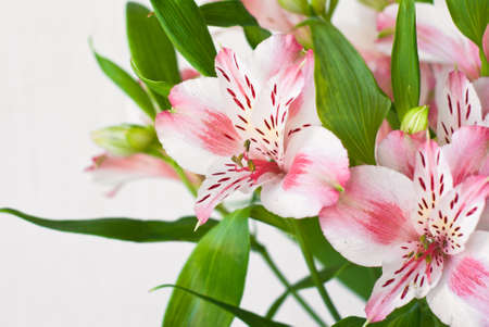 Beautiful white and red flowers Alstroemeria on white. Selective focus photo