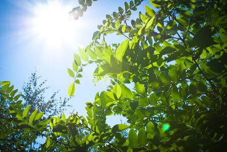 cheery: Green leaves at the branch on blue sky sunny background
