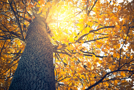 sunny: Sunny autumn background with old yellow oak tree.