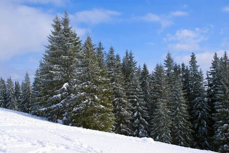 lifestile: Christmas Forest on a clear day in the winter against the snow slope Stock Photo