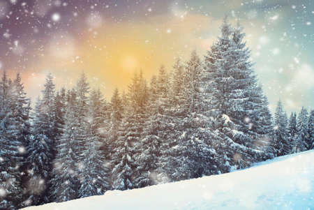 lifestile: Christmas snowing firtree Forest  in the winter. Stock Photo
