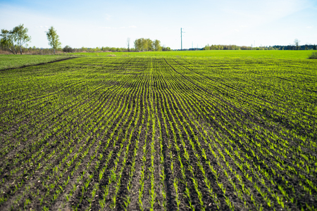 siembra: Campo con brotes verdes de grano. Campo agrícola agrícola