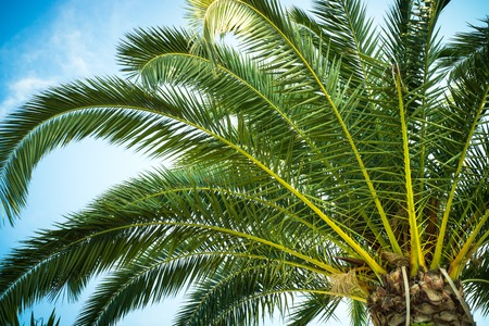 Palm trees leaves against the sky in sunny good day. Travel tropical background. Summer vacation holiday.