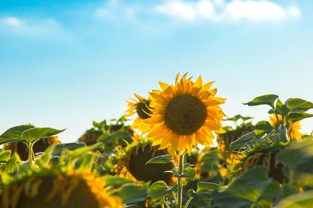 Sunflower in the field against the sky and sun. Harvest concept. The agricultural background.