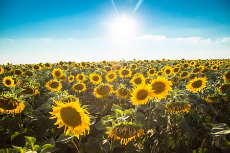 A field of sunflowers against the sky and sun. Harvest and abundance. The agricultural background.