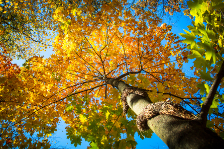 Autumn nature background. Autumn maple against the blue sky. Bottom view.