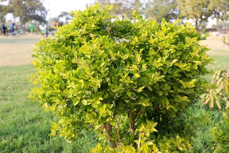 Shrub bush with green leaves in a park