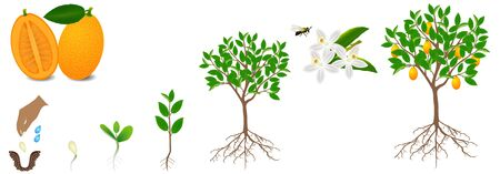 Cycle of growth of kumquat plant on a white background. Illustration