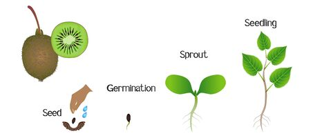 Sequence of a kiwi plant growing isolated on white.