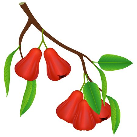 A branch with rose apples and leaves on a white background.