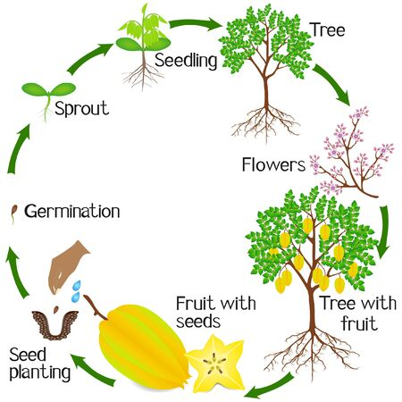 A growth cycle of a carambola plant on a white background.