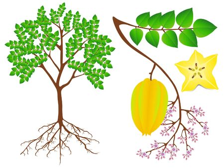 Showing parts of carambola plant on a white background.