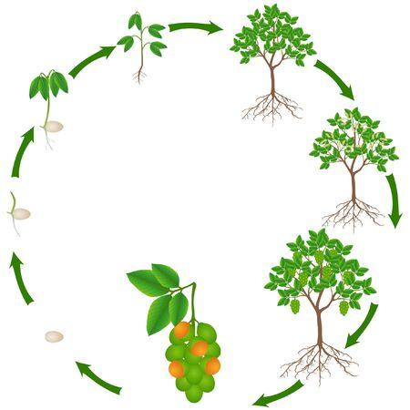 Life cycle of melicoccus bijugatus spanish lime or ginepa, mamoncillo plant. Vector Illustration
