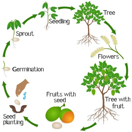 A growth cycle of melicoccus bijugatus spanish lime or ginepa, mamoncillo plant.