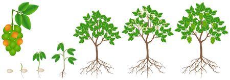 Cycle of growth of melicoccus bijugatus spanish lime or ginepa, mamoncillo plant.