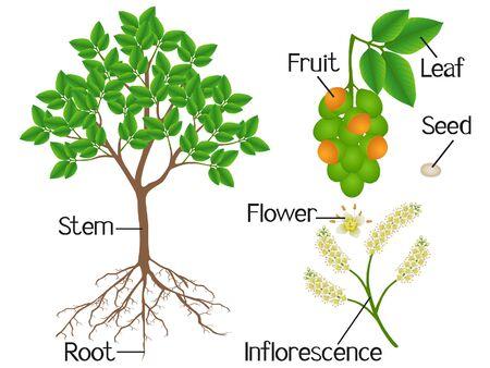 Parts of melicoccus bijugatus spanish lime or ginepa, mamoncillo tree on a white background. Vector Illustration