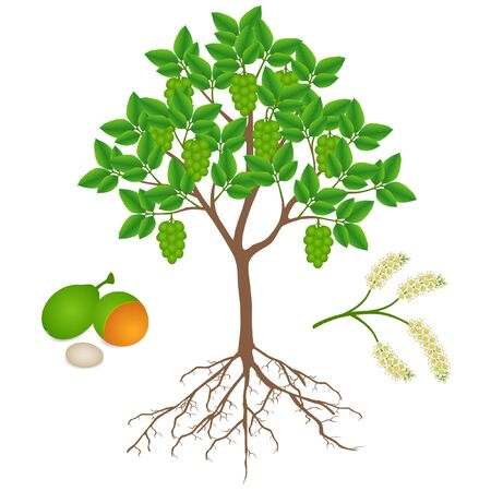 Melicoccus bijugatus spanish lime or ginepa, mamoncillo tree with fruits and flowers. Vector Illustration