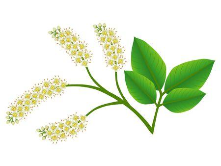 Melicoccus bijugatus spanish lime or ginepa, mamoncillo bloom on a white background.