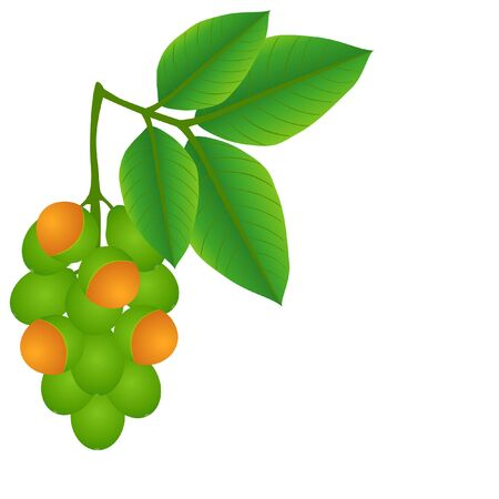 Melicoccus bijugatus fruits with leaves on a white background.