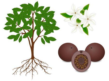 Showing parts of borojoa patinoi plant on a white background. Ilustração Vetorial