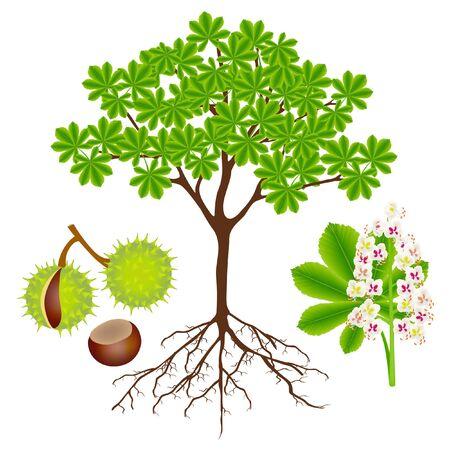 Horse chestnut plant with fruits and flower on white. Ilustração