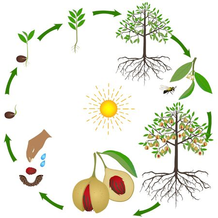 Life cycle of nutmeg plant on a white background.  イラスト・ベクター素材