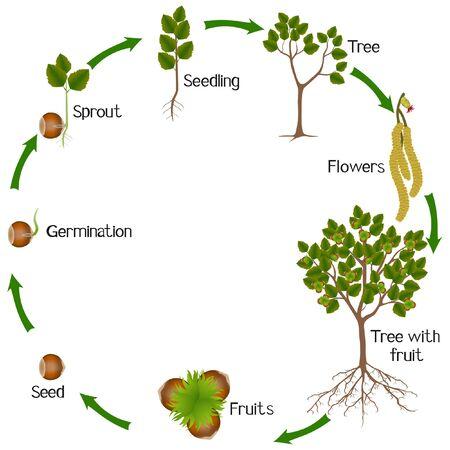 Un cycle de croissance de la plante de noisette sur fond blanc.