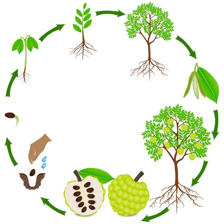Life cycle of sugar apple plant on a white background.
