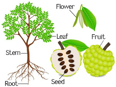 Parts of sugar apple plant on a white background.