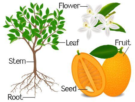 Parts of kumquat plant on a white background.