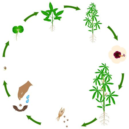 Life cycle of kenaf plant on a white background.