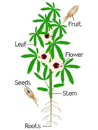 Parts of kenaf plant on a white background.
