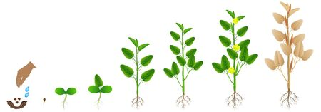 Cycle of growth of jute plant on a white background.