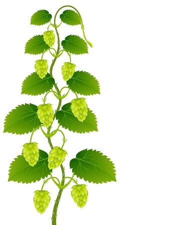 Green hop cones with leaves on a white background.
