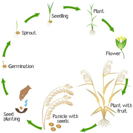 A growth cycle of a millet plant on a white background.