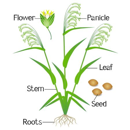 Parts of a millet plant on a white background. Illustration