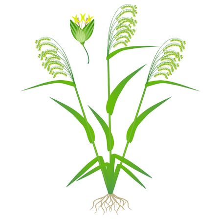 Flowering plant of millet on a white background.
