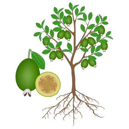 Feijoa tree with roots and fruits on white.