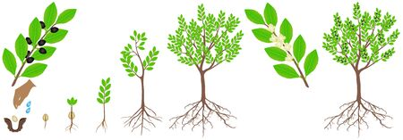 Cycle of growth of a laurel plant on a white background.
