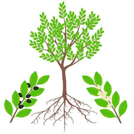 An illustration showing parts of a laurel plant.